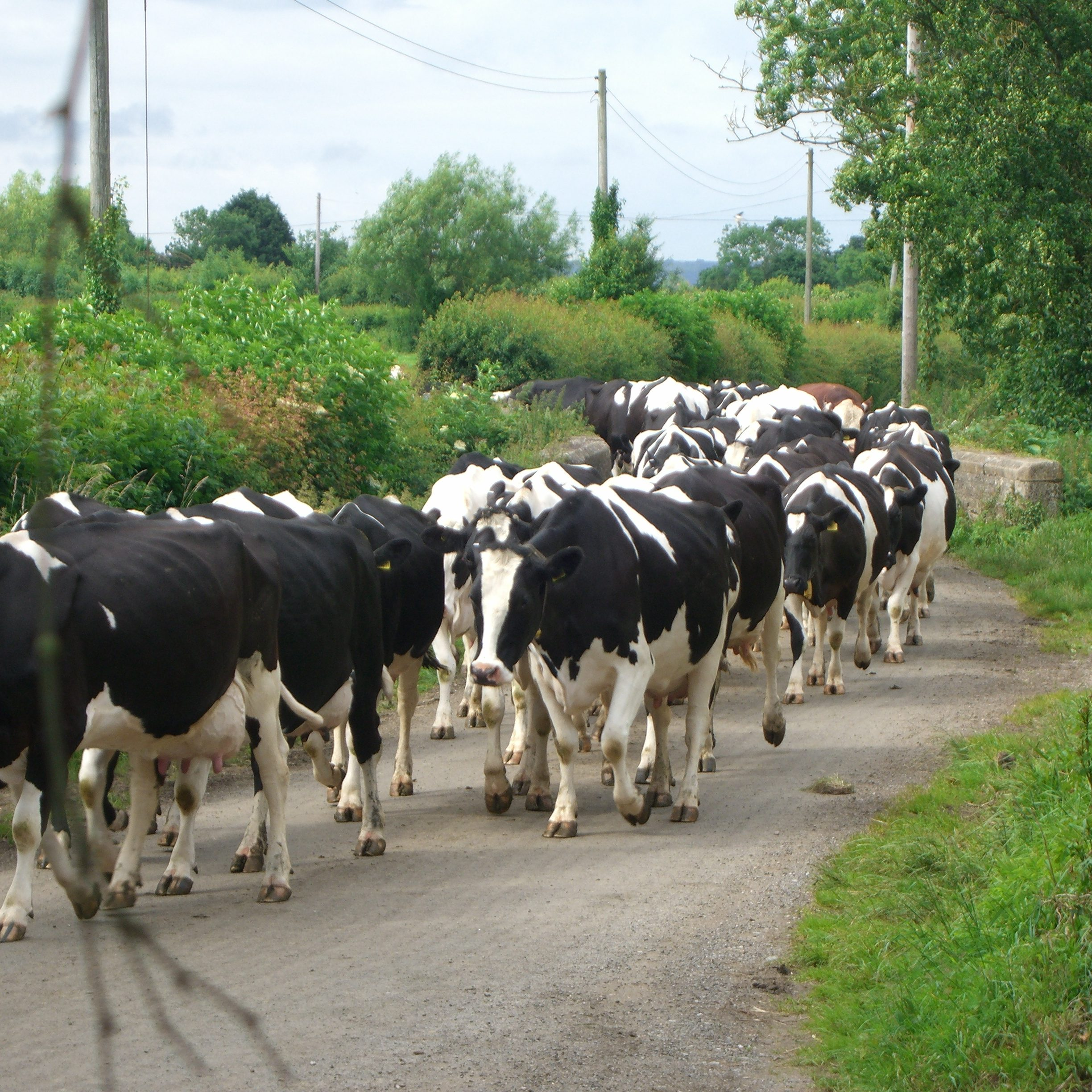 On the way to milking